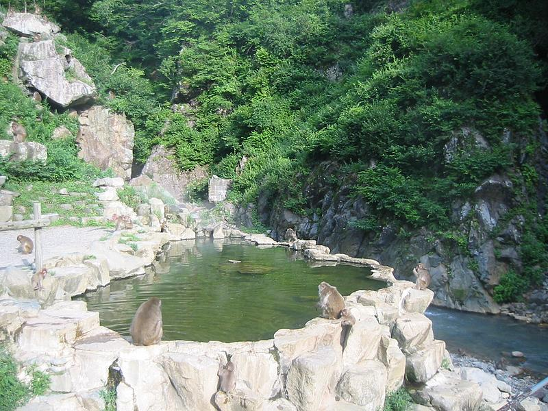 Jigokudani Monkey Park. See the hot spring snow monkeys in Japan!
